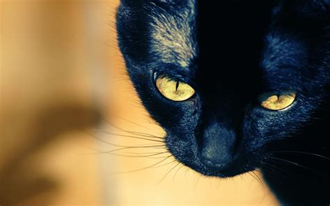 wallpaper yellow cat young black cat with yellow eyes wallpapers and images