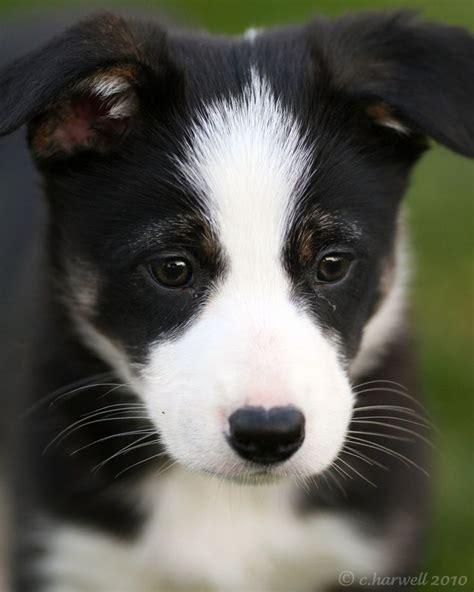 border collie rescue puppies best 25 border collie rescue ideas on dogs day out border collie names
