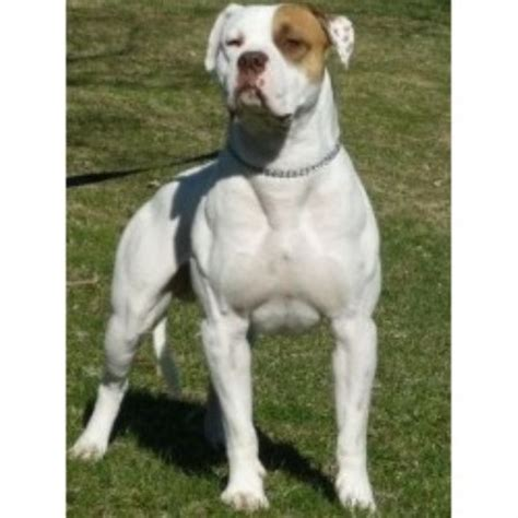 american bulldog puppies for sale in nc south american bulldogs american bulldog breeder in brton ontario