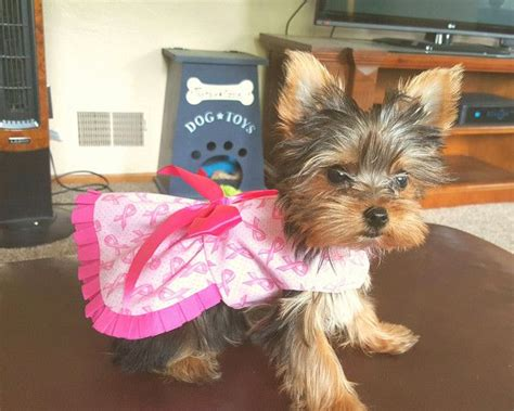 yorkie cancer 17 best images about terriers on yorkie puppies for sale