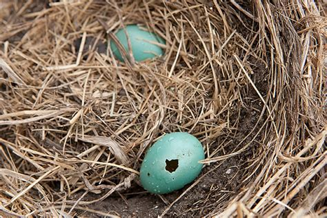 what happened to the six robin eggs