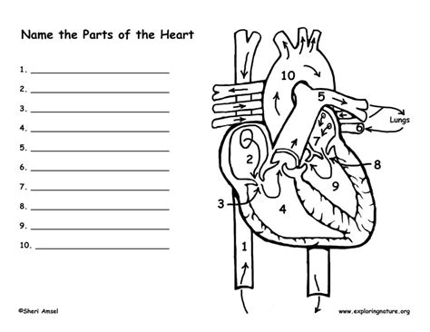 heart diagram coloring page the heart exploring nature educational resource