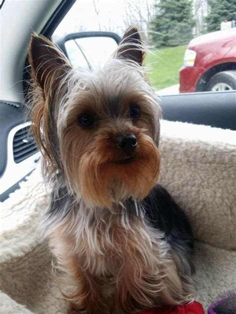 michigan yorkie rescue 25 best ideas about terrier rescue on