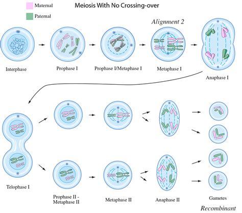 a diagram of meiosis free and printable diagram of meiosis diagram site