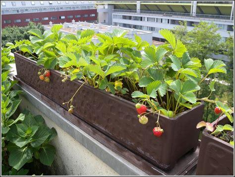 himbeeren pflanzen balkon 20x milch erdbeeren balkon garten saatgut samen pflanze