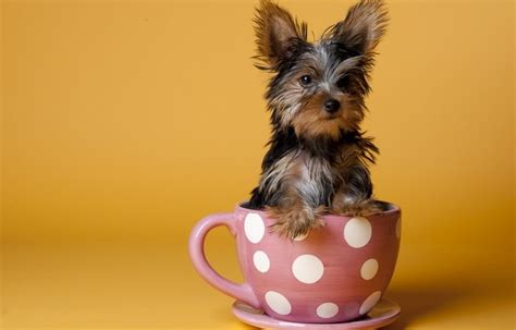 Teacup Yorkies Health Care Information And Facts About Teacup Yorkie Puppies