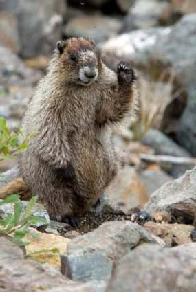 groundhog day lore 133 best images about groundhogs on groundhog