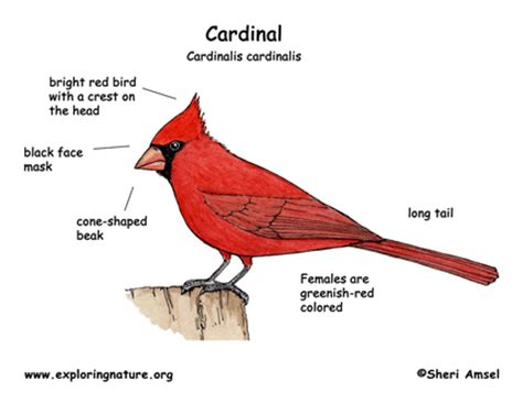 life cycle crooning cardinals