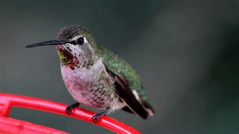 The Takaratomy Kotoridayori Humming Bird Whistles While You Work by Hummingbird Perches On Branch Chirps Flies Away 1080p