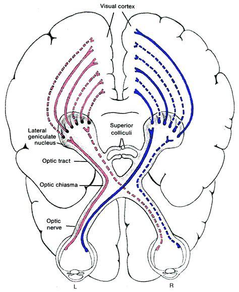 visual cortex diagram visual system