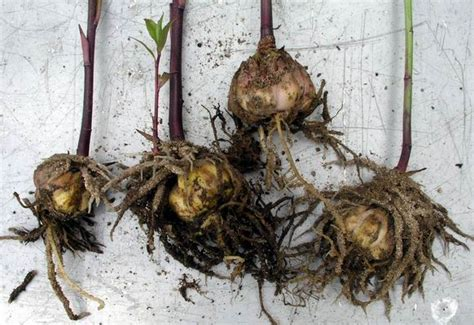 lilyflowerstore parry s tree farm garden blog receiving and care for lily bulbs before planting