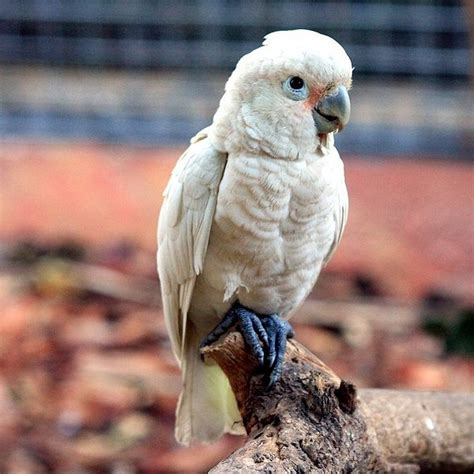 goffin s cockatoo facts pet care personality price