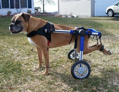 wheelchairs for dogs paralysis reversed with cells from pooch s nose smart news smithsonian