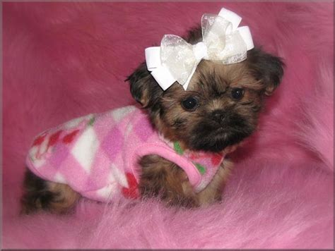 tea cup shih tzu puppies teacup shih tzu puppies tzu imperials teacup miniature or tiny pocket shih