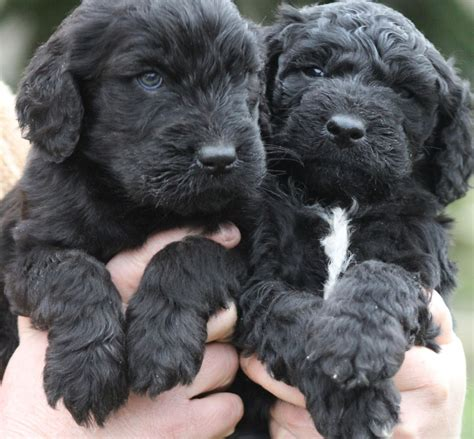 labrador doodle puppies sale uk stunning goldendoodle puppies only 495