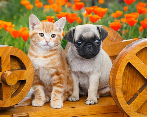 orange pug pug puppy kitten pug puppies pug puppies animal