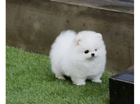 micro teacup pomeranian puppies micro teacup pomeranian puppies available for adoption offer