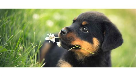 rottweiler and baby pictures of baby rottweilers animall