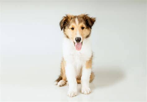 akc puppy breeders collie puppies for sale akc puppyfinder