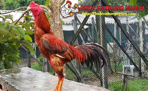 Obat Tradisional Stamina Ayam Bangkok cara rahasia meningkatkan stamina ayam bangkok laga