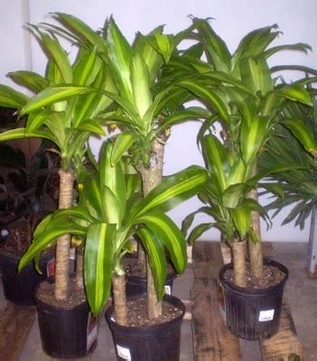 corn plant common house plants 17 best images about bed back right corner shade garden