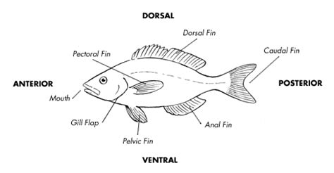 fish diagram coloring page phylum chordata biology notes for o level with questions