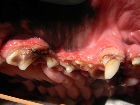 gingival hyperplasia in dogs treating gingival hyperplasia in vetdentists