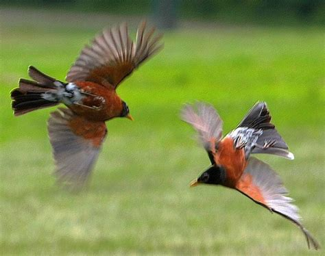 robins fighting for territorial mating rights