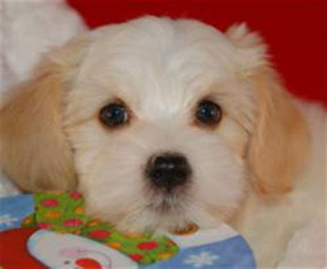 havanese ear infection royal flush havanese reviews tips on how to clean floppy ears