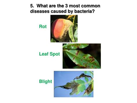 list of plant diseases caused by bacteria ppt plant disease powerpoint presentation id 6203089