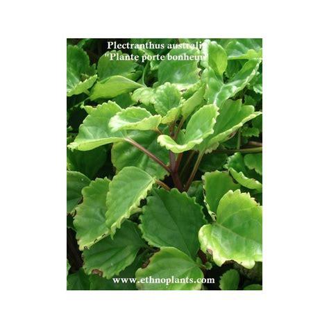 plectranthus australis plante porte bonheur 224 cultiver