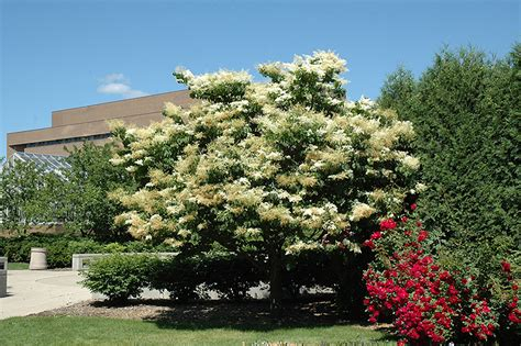 lilac tree information related keywords suggestions for syringa reticulata
