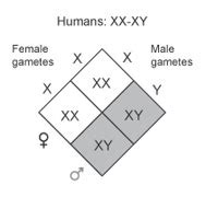 The Sex of Offspring Is Determined by Particular Chromosomes | Learn ... Y Chromosome Sperm