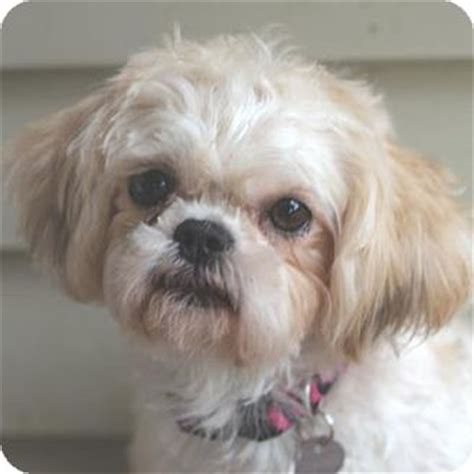 maltese shih tzu rescue dogs bonnie adopted atlanta ga maltese shih tzu mix