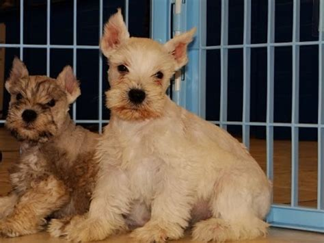 puppies for sale colorado springs miniature schnauzer puppies for sale local breeders funnydog tv