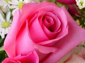 Images Of Rose Flower - pink rose flower wallpapers wallpaper cave