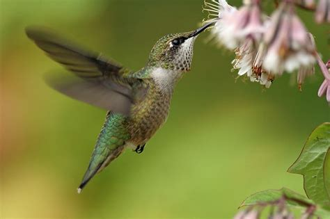 the ruby throated hummingbird is a bird of wonder and