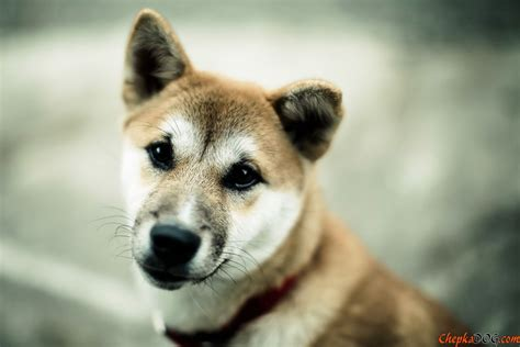 japanese breed dogs japanese breed akita inu wallpapers and images