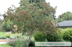 buy tree buy cotoneaster trees ashridge trees