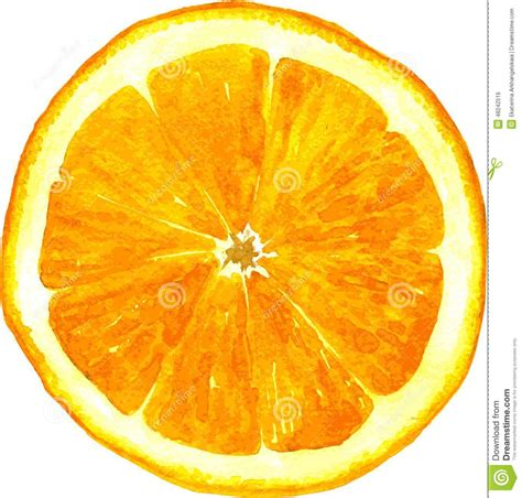slice of orange drawing by watercolor stock vector image 48242516