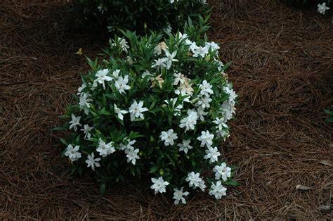 dwarf gardenia  irresistible scented houseplant