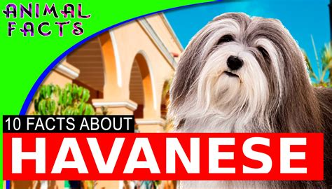 facts about havanese dogs 10 cool facts about havanese dogs 101 information havanese animal facts