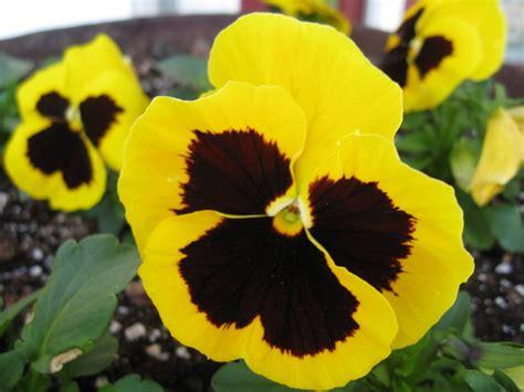 imagenes de flores llamadas pensamientos flores de pensamientos amarillas im 225 genes y fotos