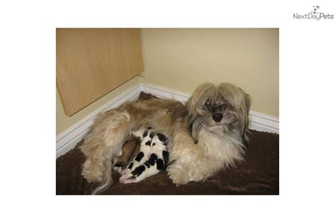 havanese puppies ct puppies for sale from connecticut havanese at corner member since february 2005
