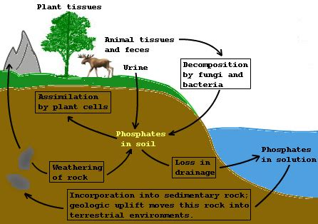 phosphorus cycle diagram and explanation phosphorus cycle diagram to label images