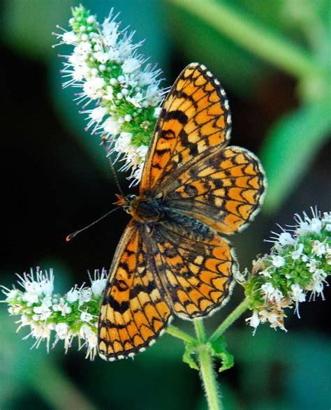 mariposas de espaa y 19 especies de mariposas a punto de desaparecer teorema ambiental