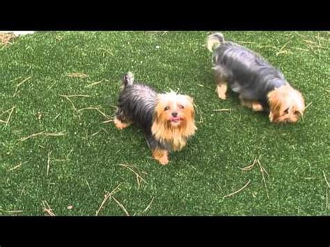miracle yorkies molly the yorkie puppy funnydog tv