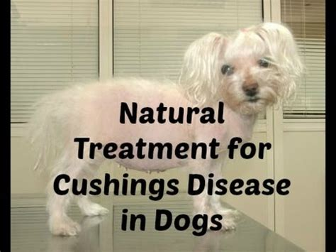 cushings disease treatment pinscher miniature advices funnydog tv