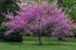 great spring flowering trees merrifield garden center