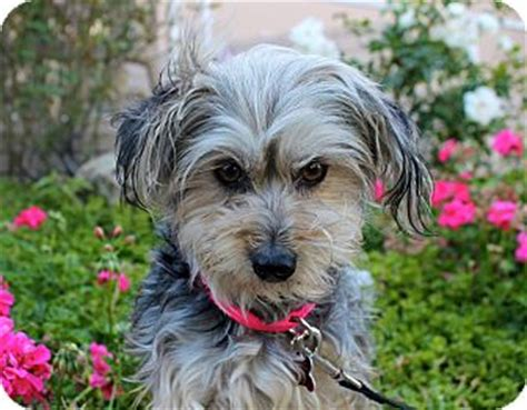 yorkie puppies for adoption in los angeles ca francine adopted puppy los angeles ca yorkie terrier maltese mix